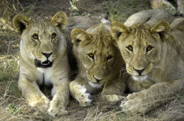 Lions 