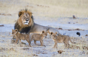 Father and young lions 